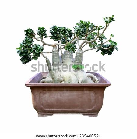 Azalea flowers bonsai tree isolated on white background - stock photo