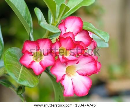 Azalea flowers of thailand - stock photo