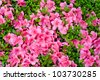 Azalea in spring - stock photo