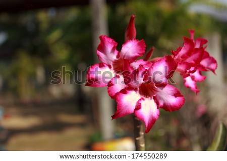 azalea in the garden - stock photo