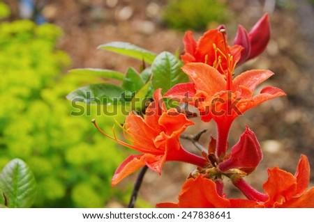 azalea orange  - stock photo
