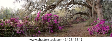 Azalea Panorama at the Magnolia Plantation in Charleston, SC. - stock photo
