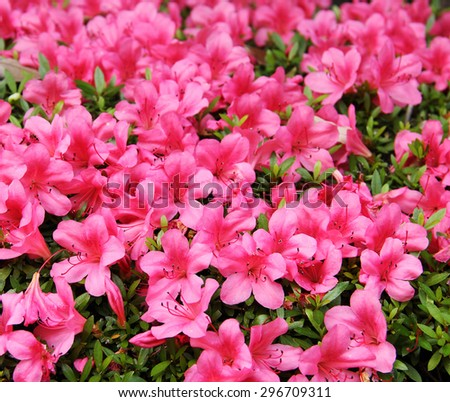 azalea, pink Azalea flower blossom in a park , Japan - stock photo