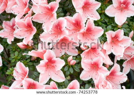 Azalea (Rhododendron simsii - Mevrouw Gerard Kint) in Springtime Bloom - stock photo