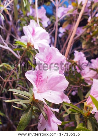 azalea under sunlight - stock photo