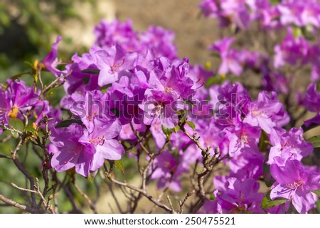 Azaleas are flowering shrubs making up part of the genus Rhododendron. - stock photo