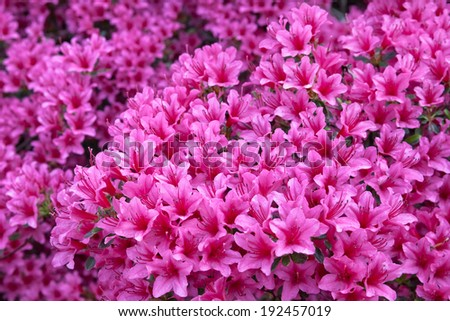 Azaleas in the spring park. Spring landscape. - stock photo