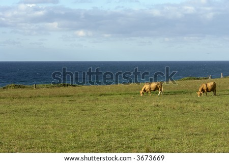 azores farm cows at the coast of sao Miguel