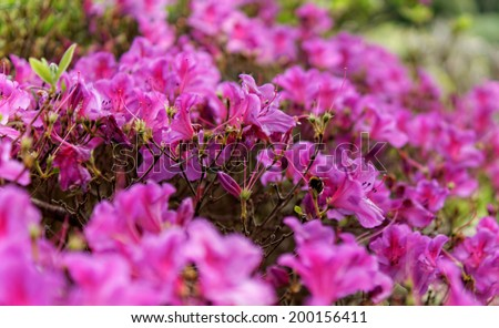 Azores typical flowers at the island of Sao Miguel - stock photo