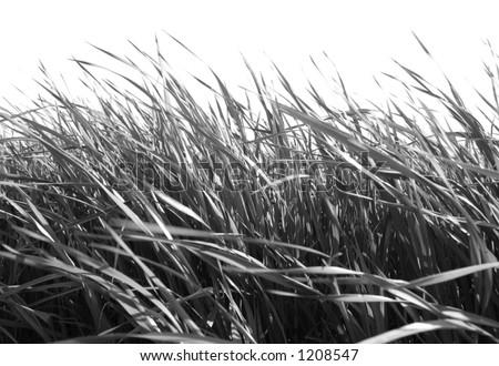 B/W Grass against White - stock photo