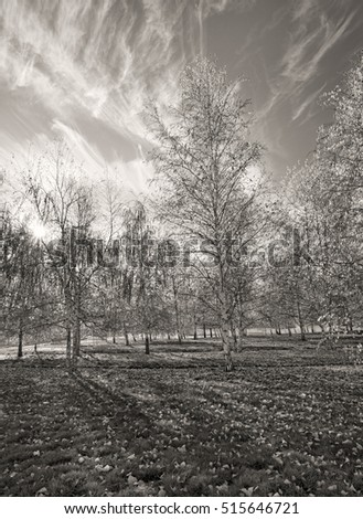 B&W of aspen trees near Plummer, Idaho.