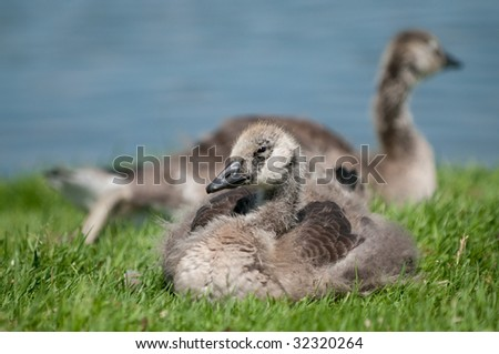 Babies canada goose (goslings) resting in grass near water. - stock photo