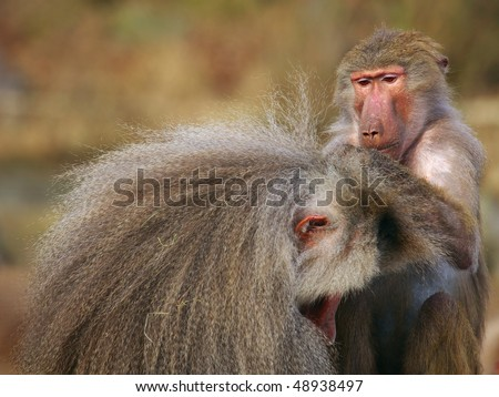 Baboon checking for fleas and ticks in the fur of another monkey