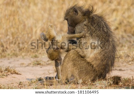 Baboon family play to strengthen bonds and having fun in nature - stock photo
