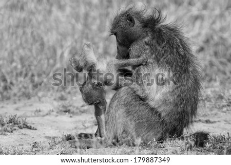 Baboon family play to strengthen bonds and having fun in nature artistic conversion - stock photo