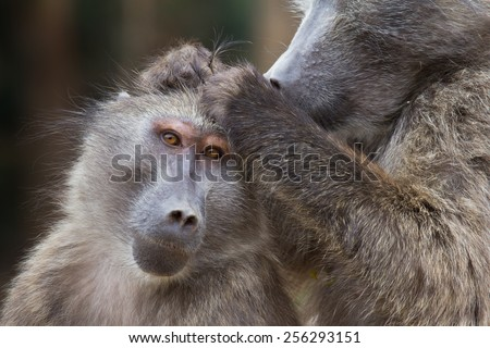 Baboon grooming the head of another baboon, looking for ticks, Cape Town, South Africa
