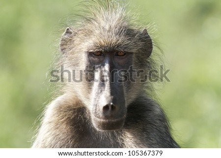 Baboon in Kruger national park - stock photo