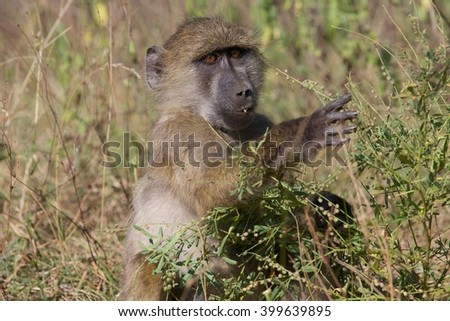 baboon in the kruger national park south africa