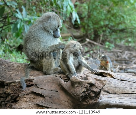 Baboon mother and bably at Lake Manyara National Park in Tanzania - stock photo