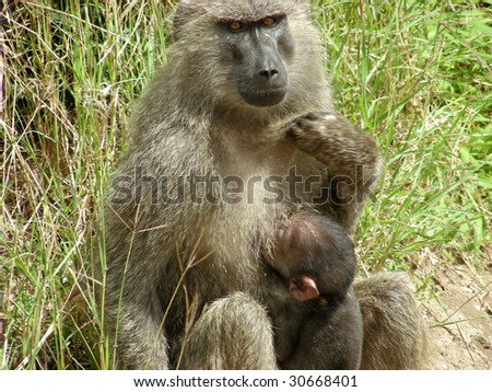 Baboon mother sitting on the ground with baby nursing - stock photo