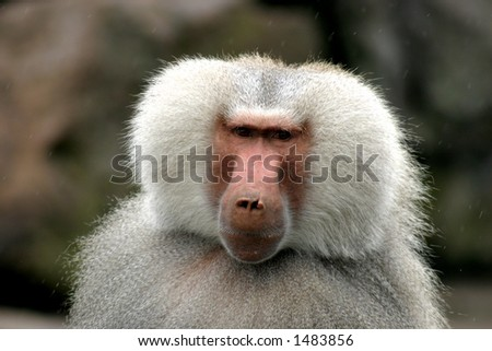 baboon / Papio hamadryas - stock photo