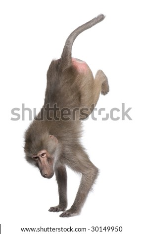 Baboon performing a handstand -  Simia hamadryas in front of a white background - stock photo