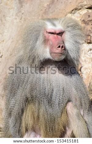 Baboon Portrait with Menacing Look, a Male Hamadryas Baboon (Papio Hamadryas) - stock photo