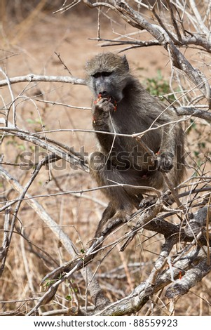 Baboon sitting in a tree feeding with flowers