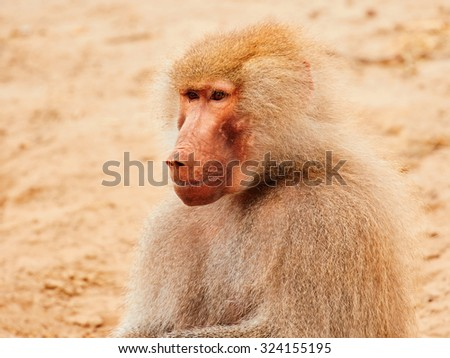 Baboon sitting in the early evening sun, closeup