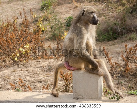 Baboon Sitting on Pylon at Dusk, Kruger National Park, South Africa - stock photo