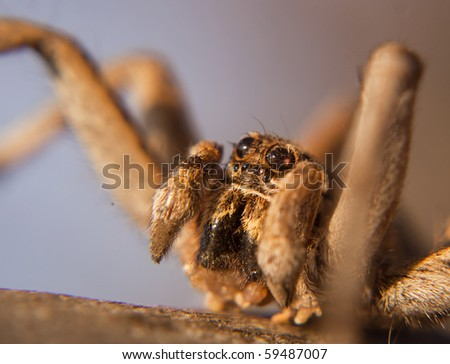 Baboon Spider Close Up, Ceratogyrus - stock photo