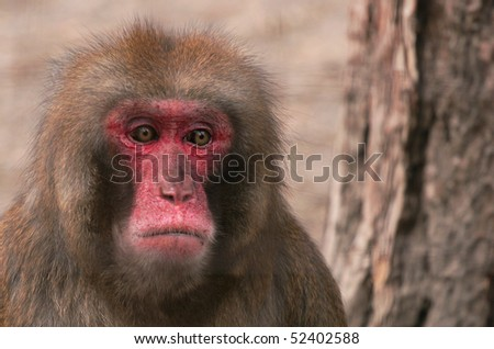 Baboon stares sad in a zoo - stock photo