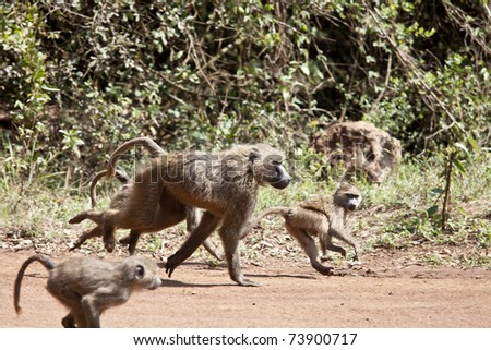 baboon troop running, mother and young in kenya - stock photo