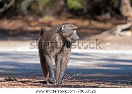 Baboon walking on the road - stock photo