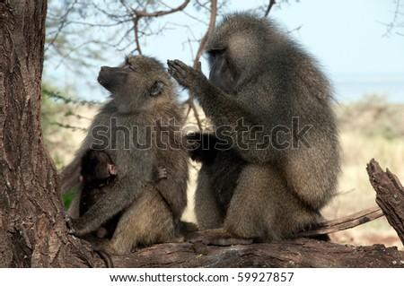 Baboons - stock photo