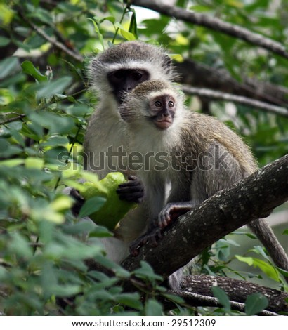 baboons - female with apple and baby