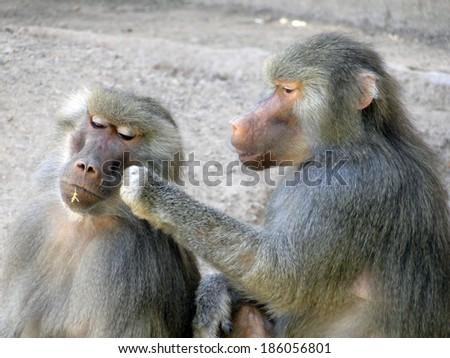 Baboons Grooming - stock photo