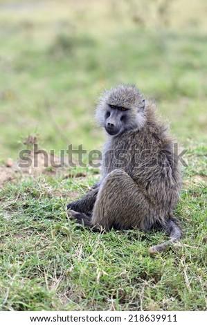 Baboons in the natural habitat. Africa. Kenya. - stock photo