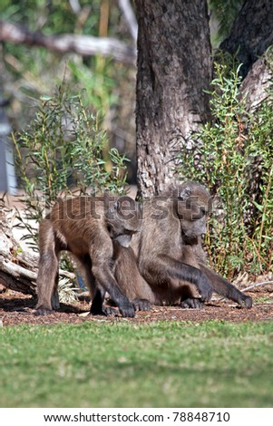 Baboons looking for food on the ground - stock photo