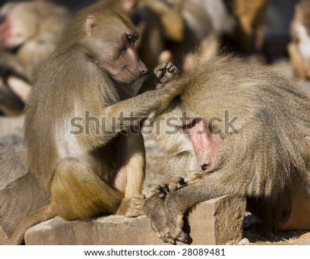 Baboons (Papio hamadryas) - stock photo