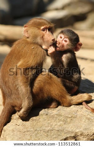 Baboons playing - stock photo
