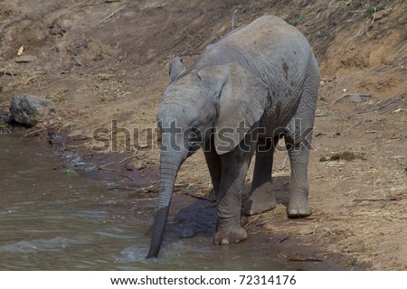 Baby African Elephant drinking at Waterhole