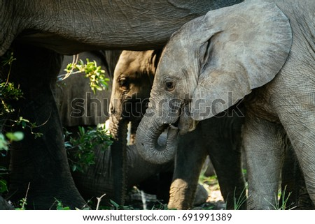 Baby African Elephant grazing with her mother