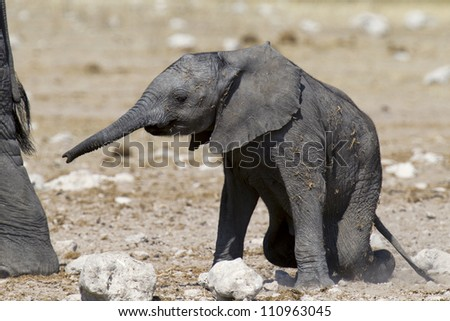 Baby African Elephant Stumble
