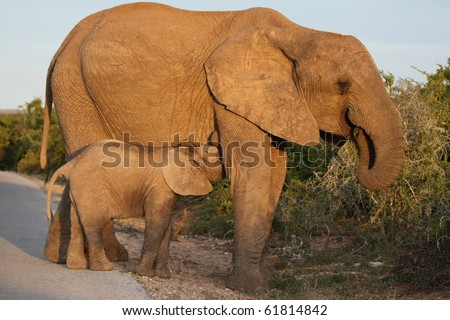 Baby African elephant suckling from it's mother