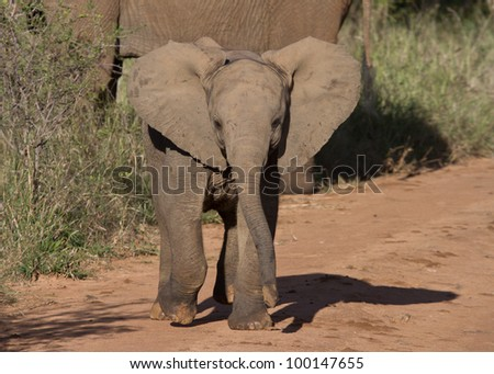 Baby African Elephant with attitude advancing, flapping ears and mock-charging in the Madikwe Game Reserve, South Africa