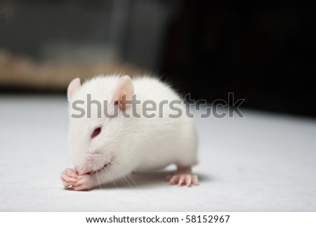 baby albino rat on white paper in lab - stock photo