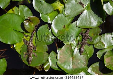 Baby Alligator on Seerose - stock photo