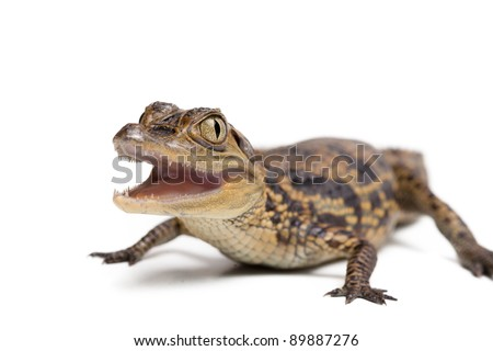 Baby alligator on white background isolated, a lot of copyspace available - stock photo