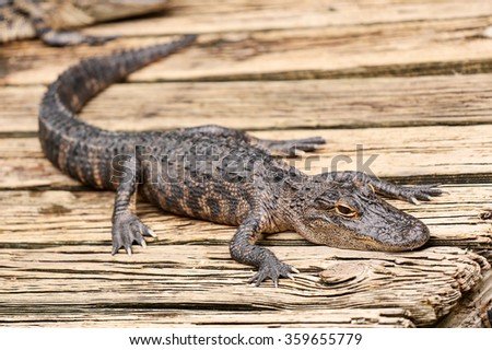 Baby alligator resting on a wooden plank. - stock photo